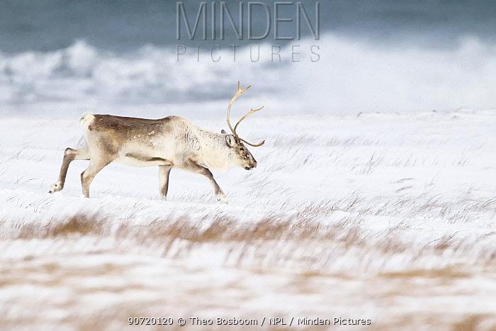 Reindeer (Rangifer tarandus) male walking across beach in winter, near Hofn, Iceland, February