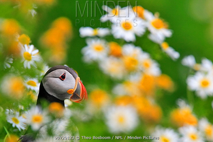 Atlantic puffin (Fratercula arctica) in field of daisies, Heimeay, Iceland, July