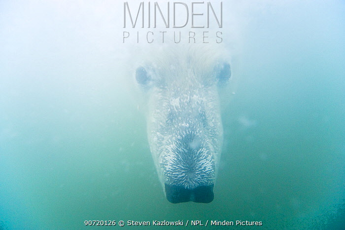 Polar bear (Ursus maritimus) curious adult head underwater, Beaufort Sea, off the 1002 area of the Arctic National Wildlife Refuge, North Slope, Alaska.