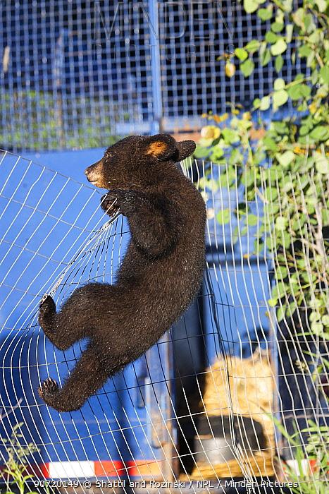Black bear (Ursus americanus) cub climbing a fence, Minnesota, USA, May.