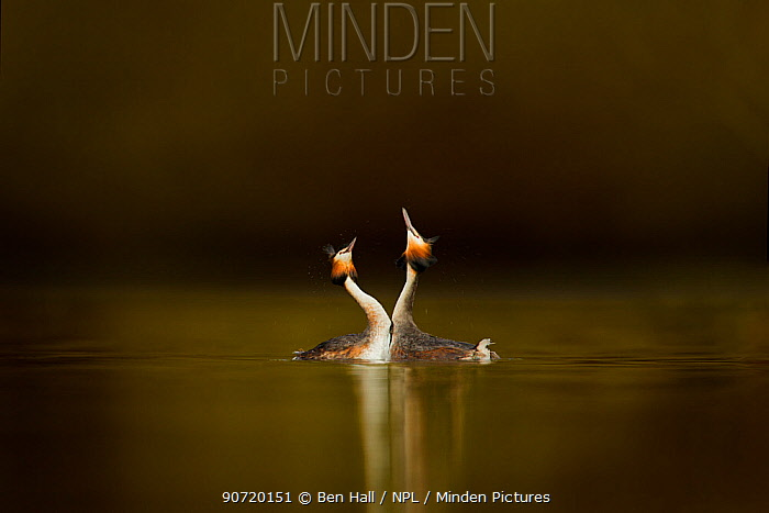 Great crested grebes (Podiceps cristatus) pair performing courtship displaying, Cheshire, UK, March
