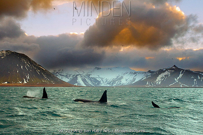 Orcas (Orcinus orca) pod feeding on herring, wide shot showing surrounding landscape, Iceland, January 2013