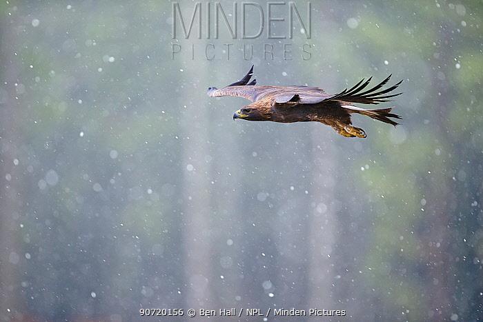 Golden eagle (Aquila chrysaetos) in flight through heavy snow, Czech Republic