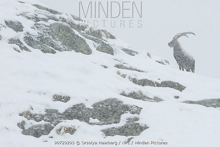Alpine ibex (Capra ibex) in snowing conditions, the Alps, Gran Paradiso National Park, Italy. October 2008