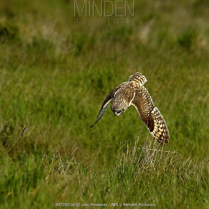 Short-eared Owl (Asio flammeus) diving at prey, Breton Marsh, West France, April