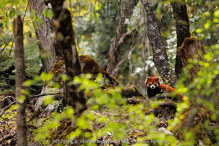 Red panda (Ailurus fulgens) in the forest zone, right under the Meili Snow Mountain, near the Minyong glacier, Meili Snow Mountain National Park, Yunnan, China
