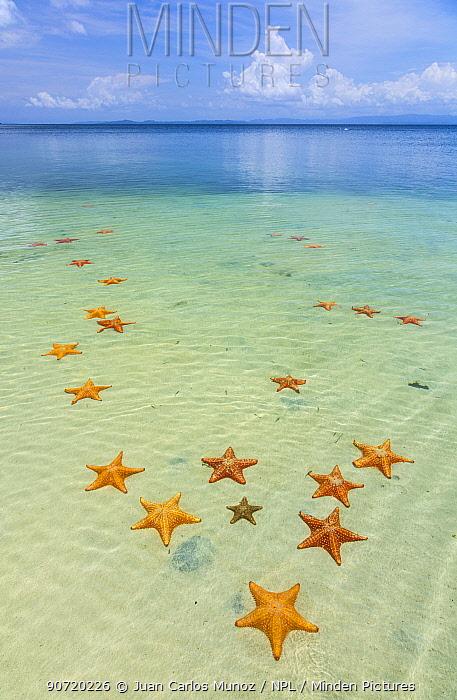 Starfish Beach, with many starfish in the shallow sea (Asteroidea) Colon Island, Bocas del Toro Archipelago, Bocas del Toro Province, Panama,