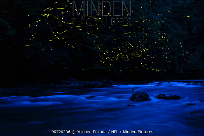 Japanese fireflies (Luciola cruciata) in flight at night, Japan endemic species, Ichikawa-Riveer, Asago Hyougo,  Japan, July