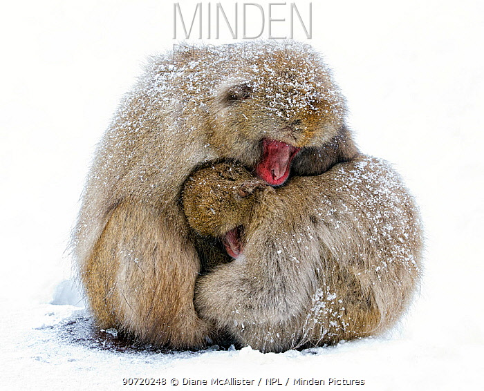 Japanese Macaque (Macaca fuscata) male and female huddle together during a light snowfall in Jigokudani Japan, January