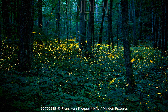 Syncronous Fireflies (Photinus carolinus) illuminate the lush forests of Smoky Mountains National Park, Tennesse, USA, July