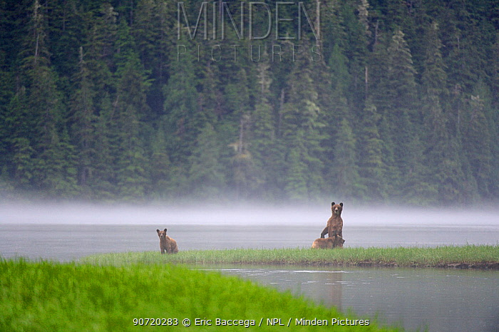 On a misty morning, female Grizzly bear (Ursus arctos horribilis) standing up in alert and looking around with her cubs for danger, while feeding on sedges, Khutzeymateen Grizzly Bear Sanctuary, British Columbia, Canada, June 2013.