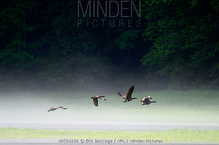 Canada geese (Branta canadensis) flying over the water of the estuary in the morning mist, Khutzeymateen Grizzly Bear Sanctuary, British Columbia, Canada, June.