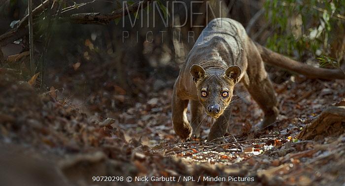 Adult male Fosa (Crytoprocta ferox) prowling on deciduous forest floor. Kirindy Forest, western Madagascar.