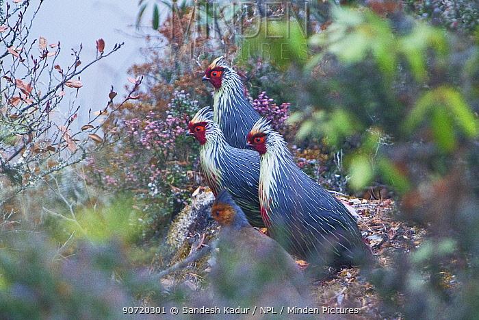 Blood pheasants (Ithaginis cruentus)  in high alpine scrubland gather by the edge of a cliff, Bhutan, Himalaya.