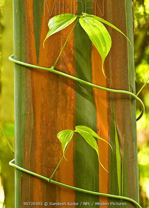 A vine growing on Eucalyptus bark, Tompotika Peninsula, Sulawesi, Indonesia.