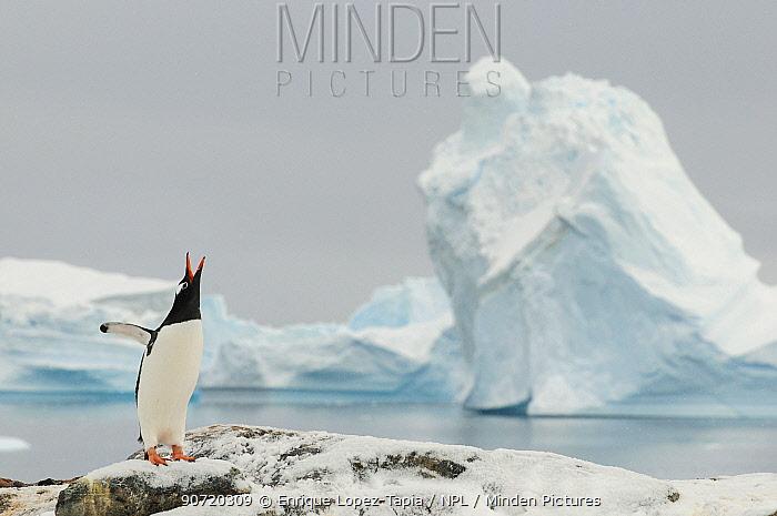 Gentoo penguins (Pygoscelis papua) calling,  Cuverville Island. Antarctic Peninsula, Antarctica
