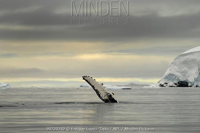 Humpback whale (Megaptera novaengliae) flipper above the surface after breaching, Wilhelmina Bay, Gerlache Strait. Antarctic Peninsula, Antarctica