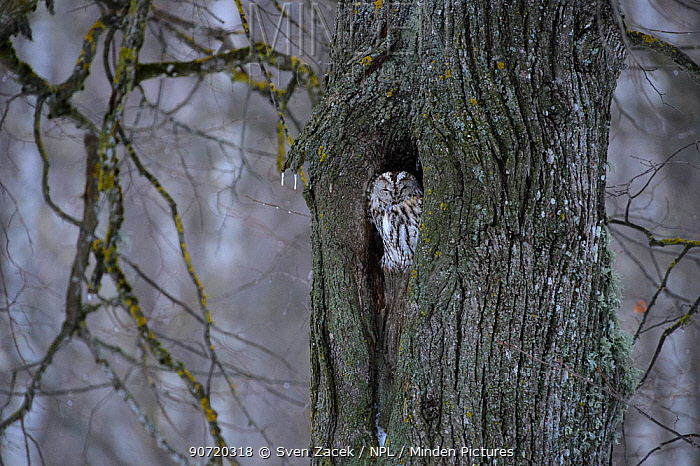 Tawny owl (Strix aluco) peering out of its nest hole in  tree, Southern Estonia, February.