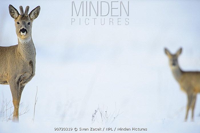 Two Roe deer (Capreolus capreolus) on a snowy field, Southern Estonia, March.