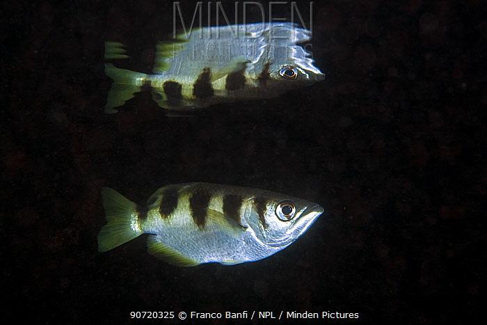 Banded archerfish (Toxotes jaculatrix) Kot malan kary, Blue water mangrove, Raja Ampat, Irian Jaya, West Papua, Indonesia, Pacific Ocean