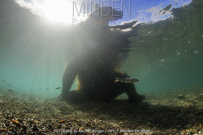 Brown bear (Ursus arctos beringianus) fishing for Sockeye salmon in the Ozernaya River, Kamtchatka, Russia, August