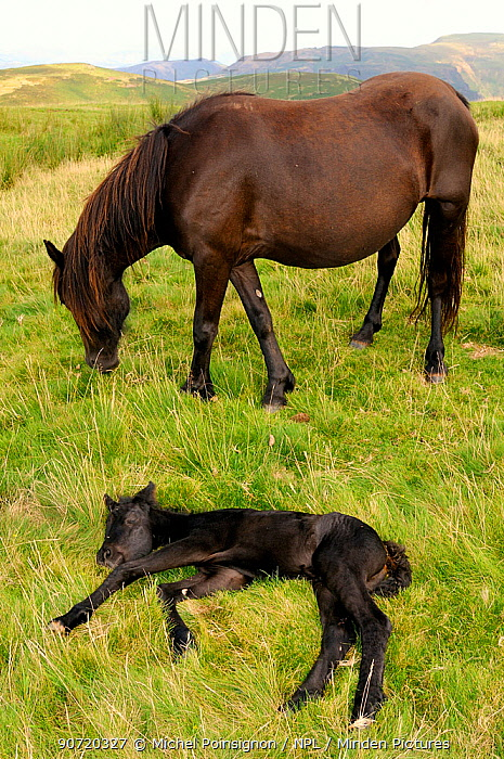Merens horse (Equus caballus) mare with resting foal, Pyrenees mountains, France, August.