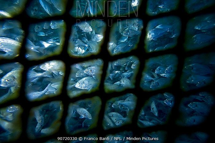 Fish farm net of sea cage with thousands of Gilt-head bream (Sparus aurata) Ponza Island, Italy, Tyrrhenian Sea, Mediterranean