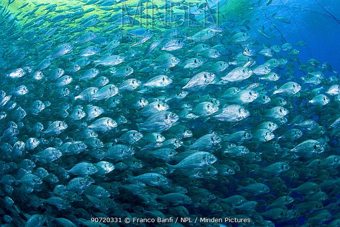 Thousand of Gilt-head bream (Sparus aurata) inside a sea cage used for aquaculture, Ponza Island, Italy, Tyrrhenian Sea, Mediterranean