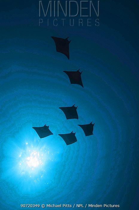 Devil rays (Mobula japonica) viewed from below, South Ari atoll, Maldives.
