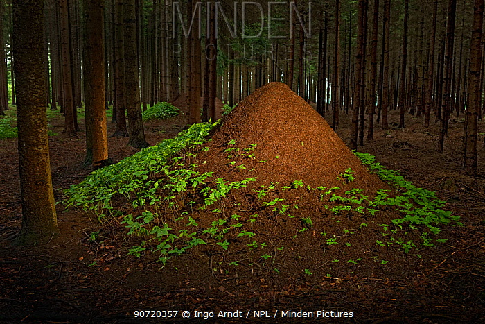 European Red Wood Ant (Formica polyctena) nests in pine forest, Hessen, Germany, July.