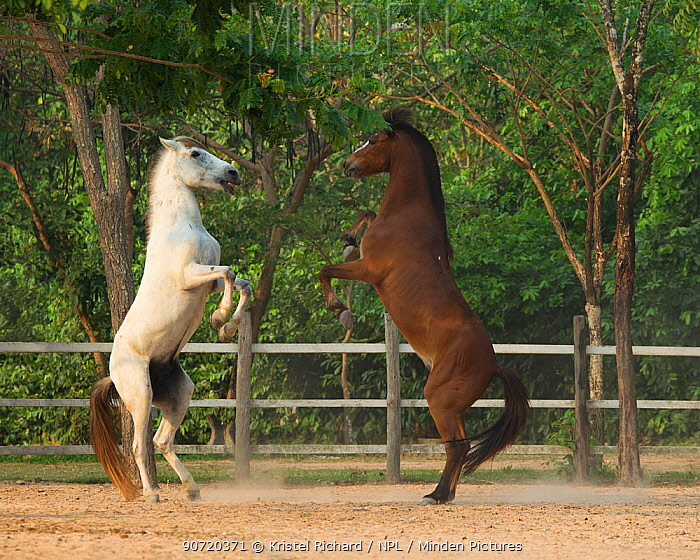Two Cambodian Pony stallions play fighting, rearing on back legs, Siem Reap, Cambodia. March 2013