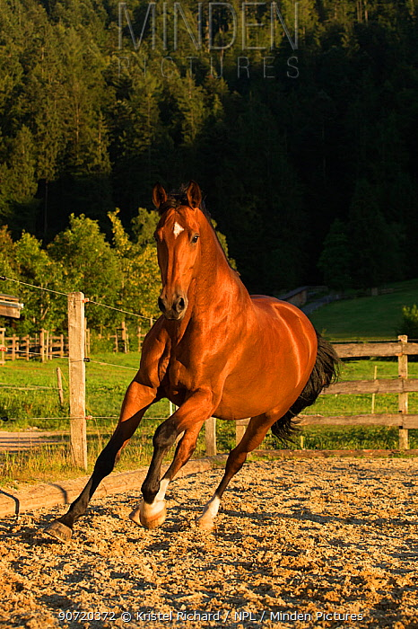 An Einsiedler / Swiss warmblood mare (Equus caballus) cantering, Schwyz, Switzerland, July.