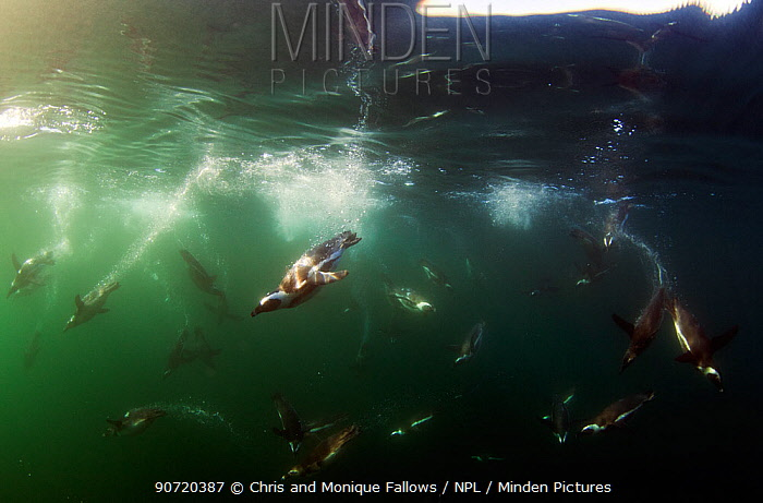 African penguins (spheniscus demersus) swimming underwater, False Bay, Cape Town, South Africa.  -  Chris and Monique Fallows