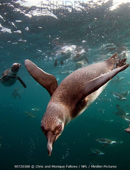 African penguins (Spheniscus demersus) diving underwater, False Bay, Cape Town, South Africa.  -  Chris and Monique Fallows