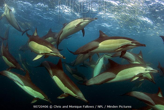 Common dolphin (Dephinus delphis) pod feeding on sardines (Sardinops oecllata) East London, South Africa.  -  Chris and Monique Fallows