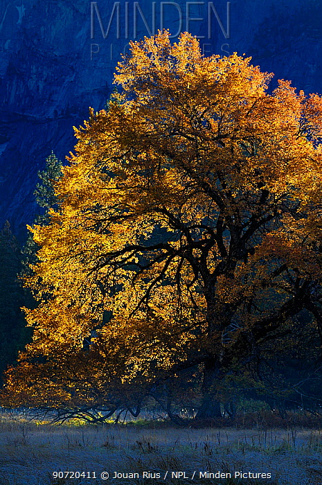 Black oak (Quercus velutina) in autumn, in Yosemite valley, Yosemite National Park, California, USA, December 2012.