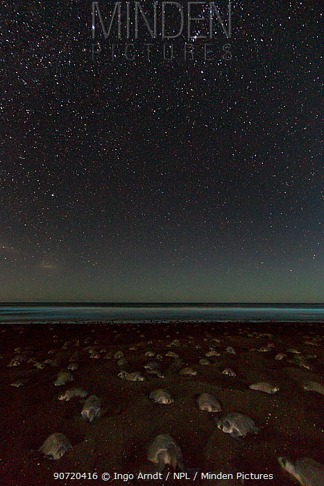 Olive ridley sea turtles (Lepidochelys olivacea) digging their nests by night with stars during an arribada (mass nesting event) to lay eggs, Pacific Coast, Ostional, Costa Rica.