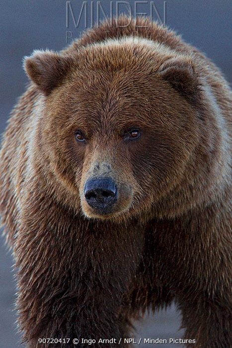 Grizzly bear (Ursus arctos horribilis) portrait, Lake Clark National Park, Alaska, USA, September.