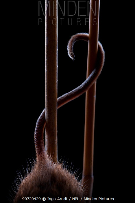 Harvest Mouse (Micromys minutus) using tail whilst climbing in reed, Germany, captive.