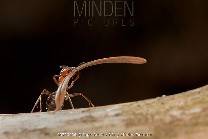 Red wood ant (Formica rufa) carrying construction material to anthill (fir needles), Germany.