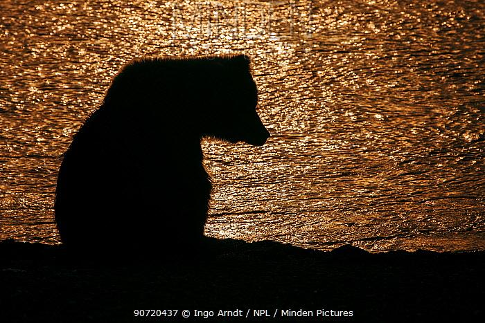Grizzly bear (Ursus arctos horribilis) silhouette at sunset, Lake Clark National Park, Alaska, USA, July.