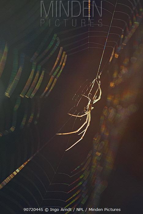 Long-jawed orb weaver spider (Tetragnatha nigrita) on web, Germany.