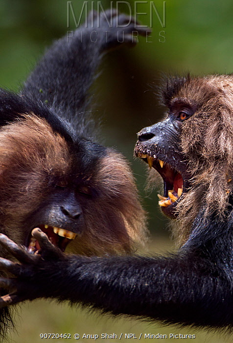Lion-tailed macaques (Macaca silenus) play fighting. Anamalai Tiger Reserve, Western Ghats, Tamil Nadu, India.