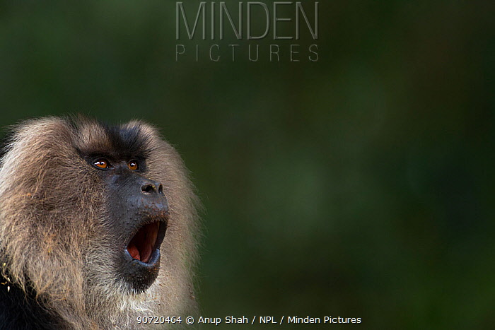 Lion-tailed macaque (Macaca silenus) male yawning. Anamalai Tiger Reserve, Western Ghats, Tamil Nadu, India.