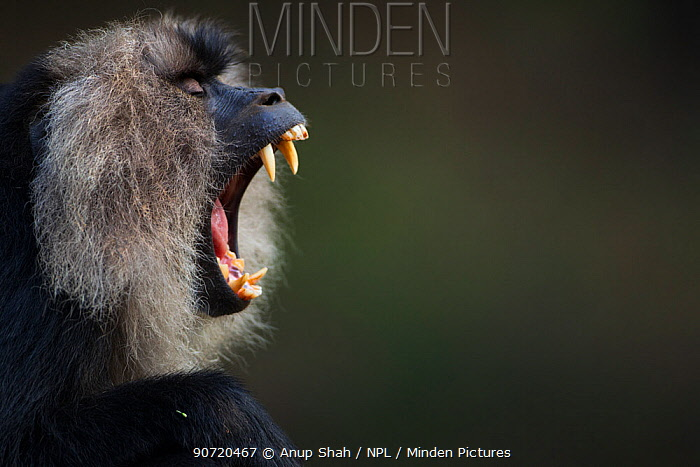 Lion-tailed macaque (Macaca silenus) male yawning portrait. Anamalai Tiger Reserve, Western Ghats, Tamil Nadu, India.