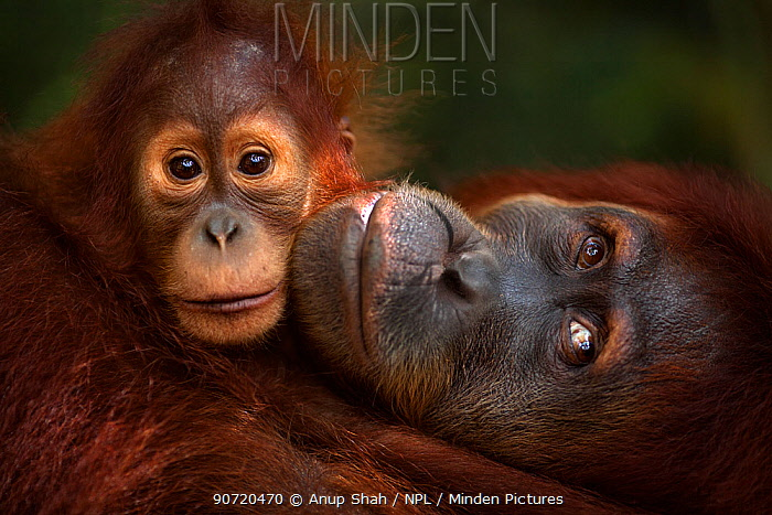 Sumatran orangutan (Pongo abelii) female 'Jaki' aged 16 years with baby daughter 'Jodi' aged 2-3 years - portrait. Gunung Leuser National Park, Sumatra, Indonesia. Rehabilitated and released (or descended from those which were released) between 1973 and 1995.