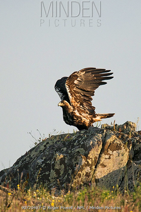 Spanish imperial eagle (Aquila adalberti) perched on a rock and stretching its wings, Castro Verde, Alentejo, Portugal, April.