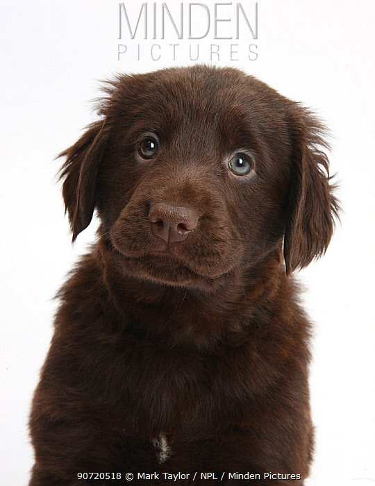 Liver Flatcoated Retriever puppy, 6 weeks.