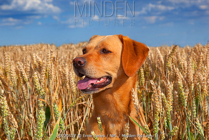 Yellow Labrador and in wheat field, Norfolk, August