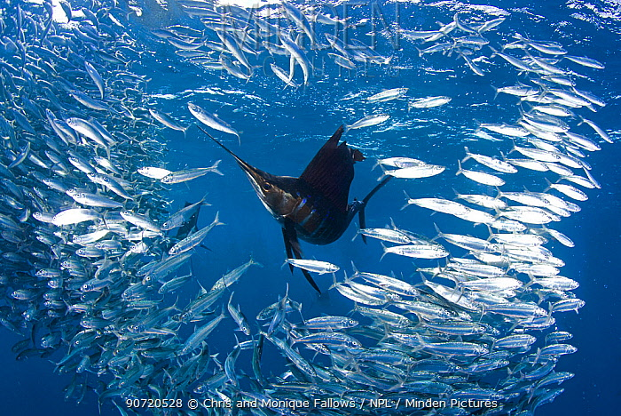 Indo Pacific Sailfish (Istiophorus platypterus) feeding on sardines (Sardina pilchardus), Isla Mujeres, Mexico, March.  -  Chris and Monique Fallows